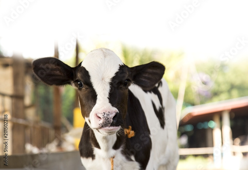 Leinwand Poster young black and white calf at dairy farm. Newborn baby cow