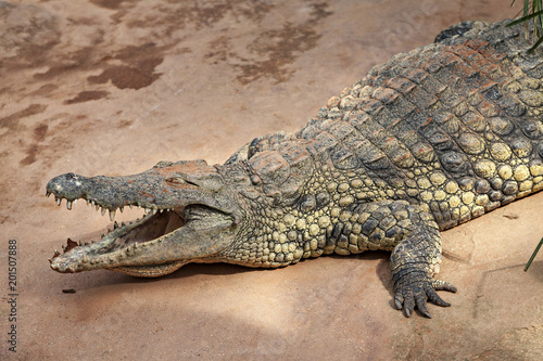 Foto op Plexiglas Krokodil crocodile lying on the river bank