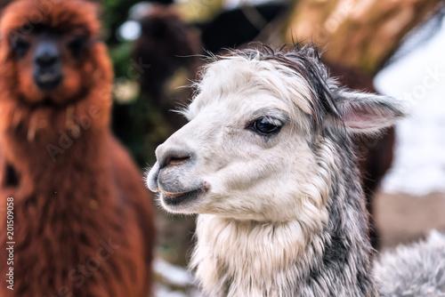 Poster Lama portrait of cute wite lama
