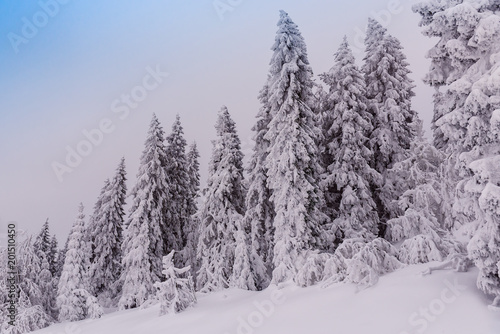 Foto auf AluDibond Rosa hell snow covered firs and fog