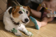 JACK RUSSELL DOG PAINTED BY HI...