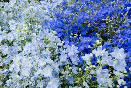 Carta da parati collection of plants of delphinium (larkspur), in full bloom, late spring, blue,