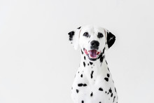 One Cute Dalmatian Dog With Op...