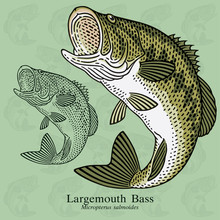 Largemouth Bass. Vector Illust...