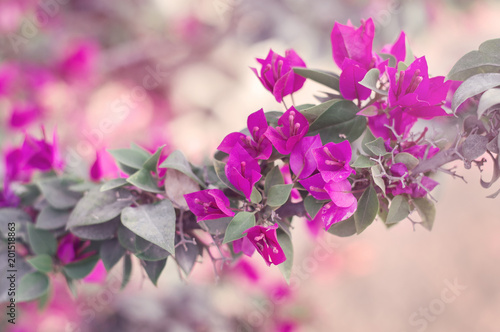 Horizontal background with bougainvillea glabra tree with bright horizontal background with bougainvillea glabra tree with bright pink flowers spring blossom paperflower mightylinksfo