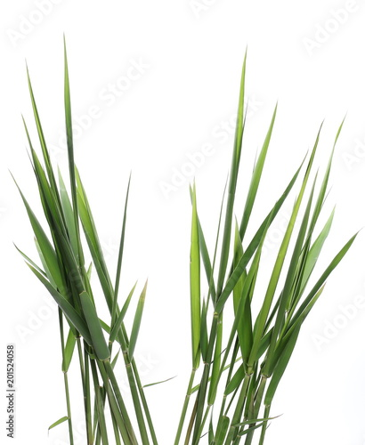 Green reed, cane grass Isolated on white background, clipping path Fototapet