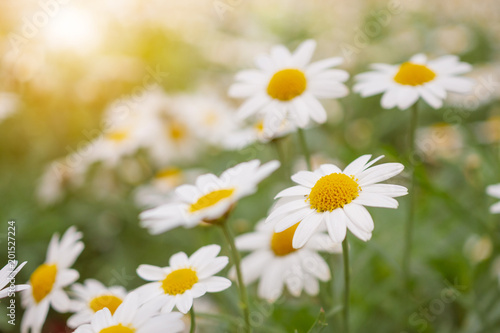 Fotobehang Madeliefjes Beautiful white camomiles daisy flowers field on green meadow