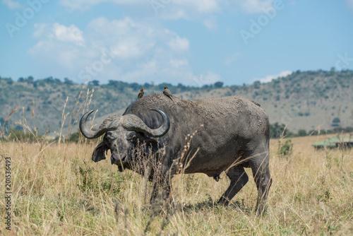 Keuken foto achterwand Buffel Cape Buffalo, Maasai Mara Kenya