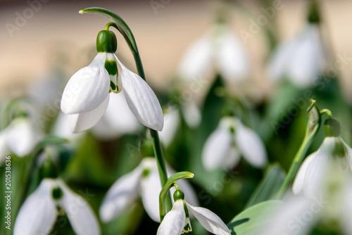 Plakat Przebiśniegi. Pierwsze wiosenne kwiaty. Przebiśnieg Elvez. Rzadki gatunek przebiśniegów, wymienionych w Czerwonej Księdze.