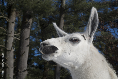 Staande foto Lama Llama