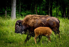 American Bison Cow Nursing A Calf, Standing In Tall Grass, With Green Woods Behind.
