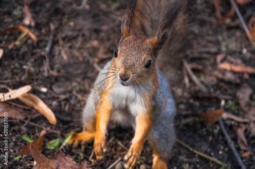 Staande foto Lama Squirrel (Sciurus vulgaris) rode in for a treat