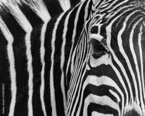 Aluminium Prints Zebra zebra, animal, black, skin, stripes, white, africa, pattern, texture