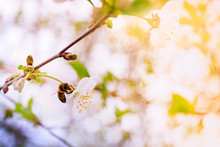 Blossoming White Cherries With...
