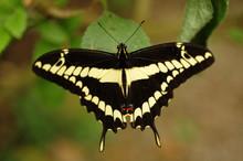 Thoas Swallowtail; Butterfly; ...