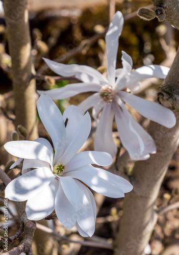 Plakat biała magnolia, Magnolia stellata