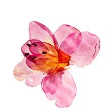 Azalea Flowers On The White
