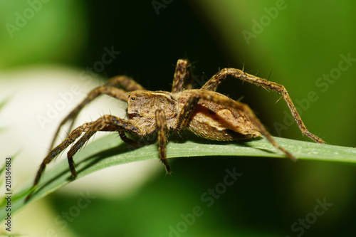 Macro of a brown spider of a stray hunter of the family Lycosidae Canvas Print