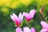 Fototapeta Kwiaty - kwiaty pączki i rozwinięte