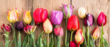 Fototapeta Tulips - multicolored tulips on a wooden background, banner, old boards, spring flowers, tulips on the boards