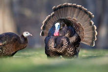 A Male Wild Turkey Courting A Female.