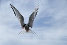 Polar Tern On A Sky Background