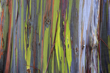 Colored Rainbow Eucalyptus In ...