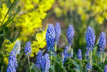 Grape Hyacinth Muscari, Early Spring Flowers On Nature Background