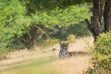 Beautiful Tigress In Nature Surrounding, Ranthambore National Park