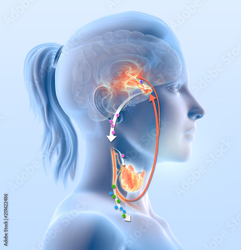 Thyroid gland function illustration shows hypothalamus, anterior pituitary gland Wallpaper Mural