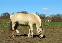 Fjord Horse (Equus Ferus Cabal...