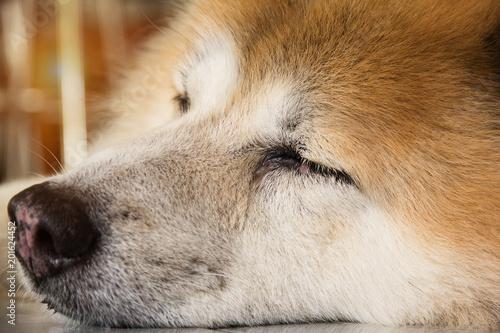Fototapety, obrazy: closeup dog face,close eyes,sleeping dog,on ground floor,blurry light around.