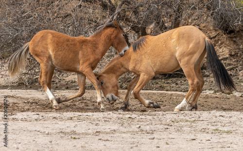 Pair of Wild Horses Fighting in the Arizona Desert