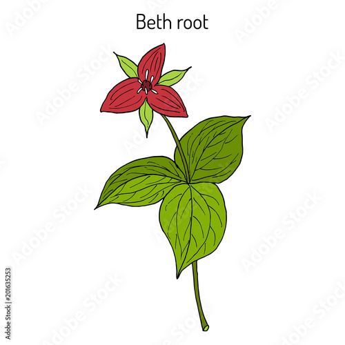 Photo  Beth Root Trillium erectum , or wake-robin, medicinal plant