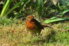 Wild Robin With Nesting Materi...