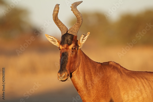 Photo Stands Antelope Portrait of a red hartebeest (Alcelaphus buselaphus), Kalahari desert, South Africa.