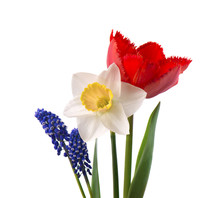Muscari, Narcissus And Red Tul...