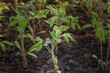 Young plants grow on plantations during the day