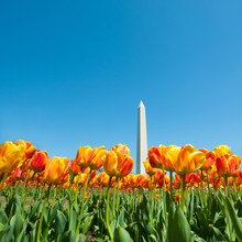 Tulips With Washington Monument