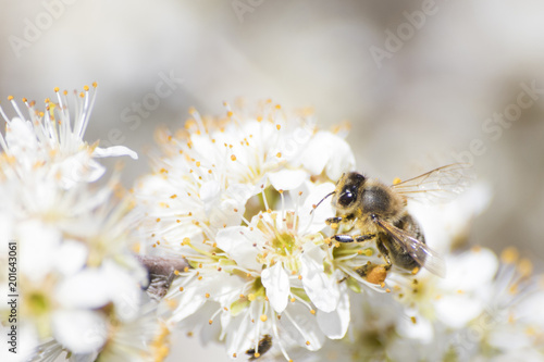 Aluminium Prints Bee Honey bee full of pollen on a white flower in nature