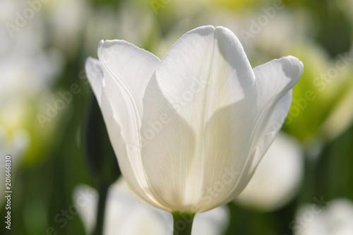 Recess Fitting Tulip Tulip white