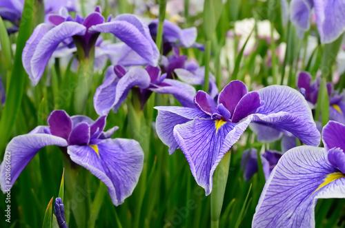 Keuken foto achterwand Iris 花菖蒲 iris