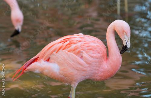 Foto op Aluminium Flamingo Pink Flamingo Stands in Reflective Water