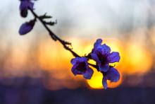 Flor, Flores De Melocotonero, ...