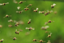 Front View Of Flying Honey Bees In A Swarm On Green Bukeh