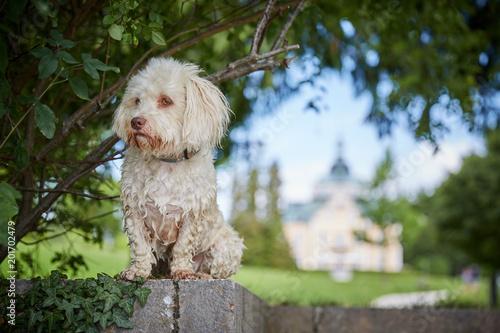 Fotografie, Obraz  White havanese dog a lake Traunsee in Toskana park in Gmunden