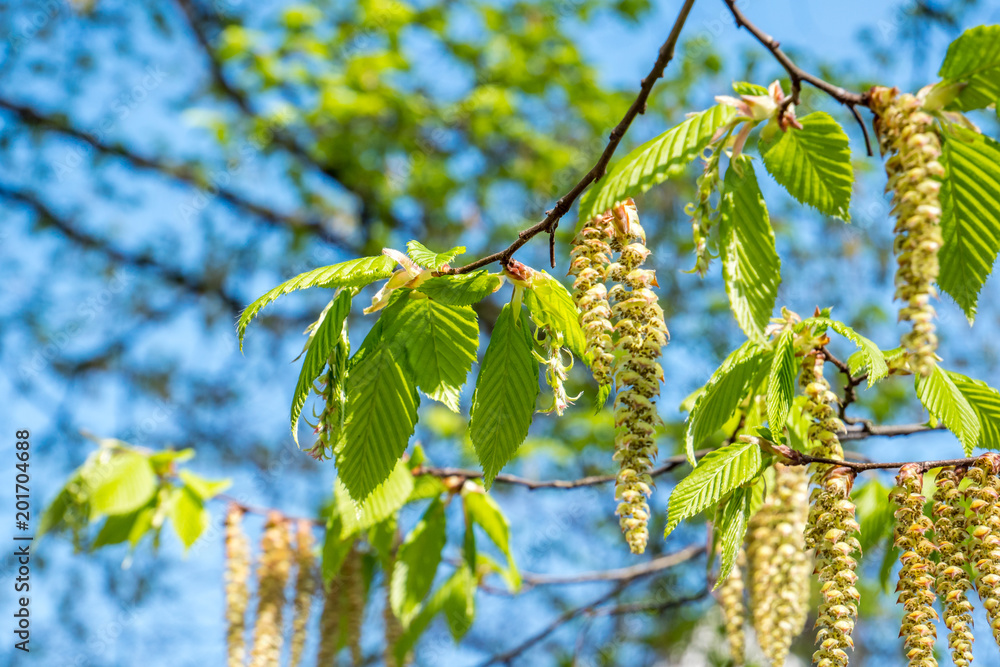 Betula Pendula Blüte im Frühling