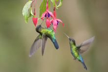 Fiery-throated Hummingbird - P...
