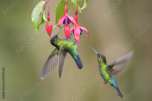 Fotografie, Obraz Fiery-throated Hummingbird - Panterpe insignis, beautiful colorful  hummingbird from Central America forests, Costa Rica