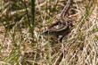 Wilde Zauneidechse, Zauneidechse in der Wildnis, Waldeidechse, Lacerta agilis